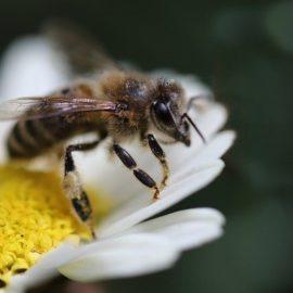 Bienen vertreiben – Die besten Methoden auf einen Blick