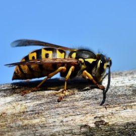Wespen vertreiben –  Das können Sie unternehmen!