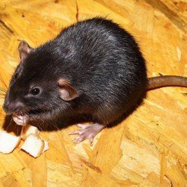 Ratten vertreiben – Das ist zu beachten!