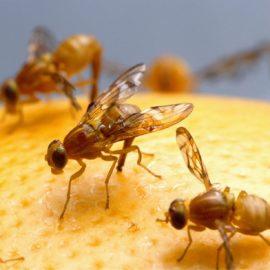 Fruchtfliegen im Winter – wie wird man sie los?