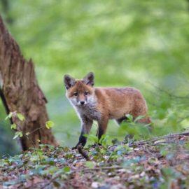 Fuchs im Garten – Fuchs Abwehren in wenigen Schritten!