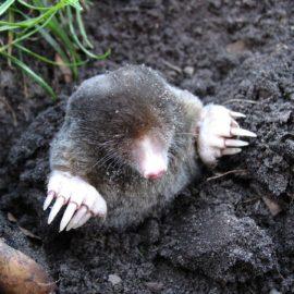Maulwurf im Garten – Wie werde ich ihn los?