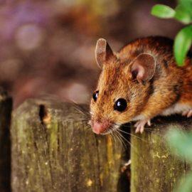 Ultraschall gegen Mäuse. Wie funktioniert dieser Mäuseschreck?