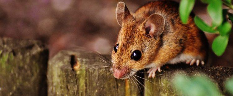 ultraschall gegen mäuse
