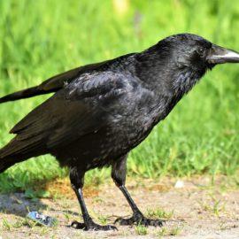Krähen im Garten – Wie lassen sich diese intelligenten Vögel vertreiben?